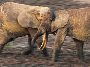 African Forest elephant (Loxodonta africana cyclotis) two bulls sparring, competition for access to valuable minerals located at certain points within the clearing's water points, Dzanga-Ndoki Nationa... - Jabruson