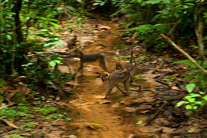 Agile mangabey female (Cercocebus agilis)  with youngster on back, crossing forest stream. Bai Hokou, Dzanga-Ndoki National Park, Central African Republic - Jabruson