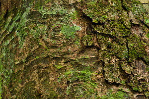 'Mbanda' tree trunk with bark patterns (Erthrophleum suaveolens) lots of rainforest species eat the seeds and leaves, but local tribes make a cold water infusion from the inner bark and use as a 'proo... - Jabruson