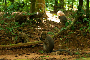 Agile Mangabeys (Cercocebus agilis) foraging for termites on the forest floor. Bai Hokou, Dzanga-Ndoki National Park, Central African Republic. - Jabruson