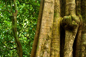 'Nguluma' tree trunk structure (Duboscia macrocarpa) lots of rainforest species eat teh leaves, fruit and seeds of this species and local people use water from boiled fruit as a cure for colds, Bai Ho... - Jabruson
