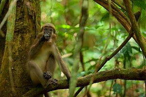 Agile Mangabey (Cercocebus agilis) juvenile, surrounded by forest liana . Image showing forested environment / habitat. Bai Hokou, Dzanga-Ndoki National Park, Central African Republic - Jabruson