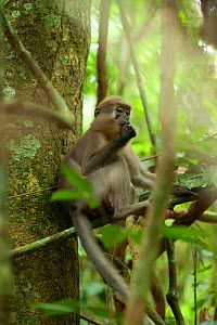 Agile Mangabey (Cercocebus agilis) juvenile surrounded by forest liana. Image showing forested environment / habitat. Bai Hokou, Dzanga-Ndoki National Park, Central African Republic - Jabruson