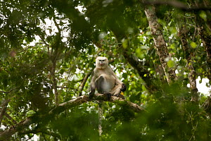 Tonkin snub-nosed monkey (Rhinopithecus avunculus) in tree, Vietnam. Critically endangered species. - XI ZHINONG