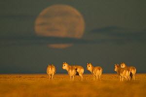Tibetan antelope (Pantholops hodgsonii) herd in the early morning with a low moon, Kekexili, Qinghai, Tibetan plateau, China, January  -  XI ZHINONG