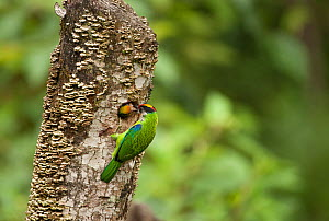 Golden-throated Barbet (Megalaima franklinii), feeding chick at nest hole, in dead tree stump, Galligong Mountain, Yunnan, China, May  -  XI ZHINONG