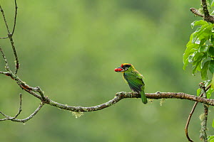 Golden-throated Barbet (Megalaima franklinii) perched on branch, with berries in its beak, Galligong Mountain, Yunnan China, May  -  XI ZHINONG