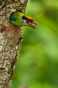 Golden-throated Barbet (Megalaima franklinii) clearing waste material from the nest hole, Galligong Mountain, Yunnan, China, May  -  XI ZHINONG