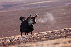 Wild yak (Bos mutus) with breath condensing in the cold air, Kekexili, Qinghai, Tibetan Plateau, China, December  -  XI ZHINONG