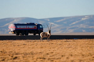 Tibetan antelope (Pantholops hodgsoni) near motorway with large truck going past, Kekexli, Qinghai, January. - XI ZHINONG