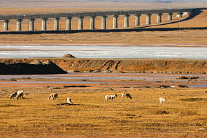 Tibetan antelope (Pantholops hodgsoni) herd near the Chuama'er River railway bridge, Kekexli, Qinghai, January. - XI ZHINONG