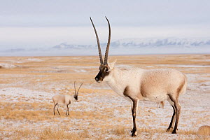 Tibetan antelope (Pantholops hodgsonii) males on snowy ground, Kekexili, Qinghai, Tibetan Plateau, China, November  -  XI ZHINONG