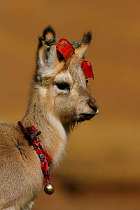 Tibetan Gazelle (Procapra picticaudata) raised by local residents, decorated with ribbons and a bell, Kekexili, Qinghai, China - XI ZHINONG