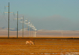 Tibetan antelope (Pantholops hodgsonii) near to overhead power lines, Kekexili, Qinghai, China, December - XI ZHINONG