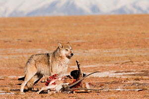 Grey wolf (Canis lupus) at  Tibetan antelope carcass (Pantholops hodgsonii) Kekexili, Qinghai, China, December - XI ZHINONG