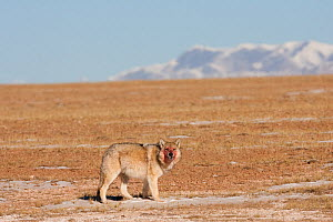 Grey wolf (Canis lupus) with blood on its face from feeding on a carcass, Kekexili, Qinghai, China, December - XI ZHINONG