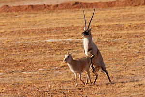 Tibetan antelope (Pantholops hodgsoni) attempting to mount female, Kekexili, Qinghai, China, December - XI ZHINONG