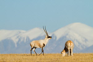 Tibetan antelope (Pantholops hodgsoni) male with female, grazing, Kekexili, Qinghai, Tibetan Plateau, China, December - XI ZHINONG