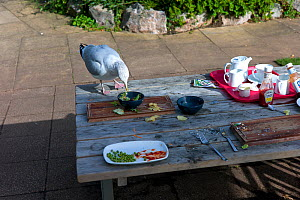 Seagull (Laridae) scavenging from picnic table, Exmouth, Devon, October 2012.  -  Rob Cousins