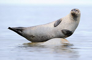 Ringed seal (Pusa hispida) hauled out on rock, Svalbard, Norway - Staffan Widstrand