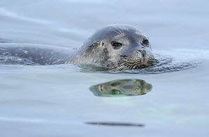 Ringed seal (Pusa hispida) swimming at surface, just head visible, Svalbard, Norway - Staffan Widstrand