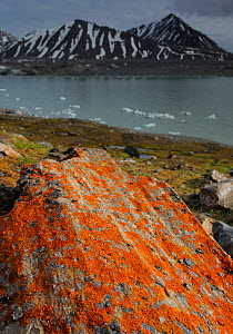 Lichen (Xanthoria sp) growing on rocks by coastline, Svalbard, Norway  -  Staffan Widstrand