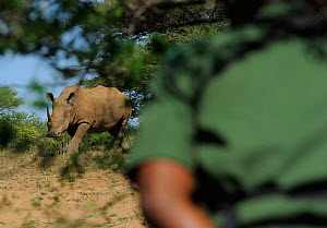 White rhinoceros (Cerathorium simum) watched by anti-poaching patrol of iMfolozi National Park, South Africa October 2011  -  Staffan Widstrand