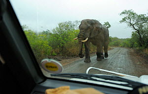 African elephant (Loxodonta africana) male tusker walking down road viewed from vehicle, iMfolozi National Park, South Africa - Staffan Widstrand