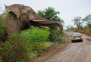 African elephant (Loxodonta africana) large male about to come onto road, with vehicle in front, iMfolozi National Park, South Africa  -  Staffan Widstrand