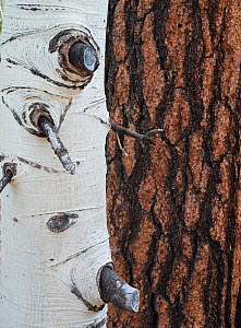 Bark patterns of Aspen tree (Populus tremula) in front of a Ponderosa pine (Pinus ponderosa) trunk, Kaibab National Forest, Arizona, USA - Jack Dykinga