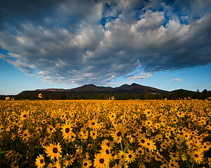 Sunset Crater National Monument with dawn light on the San Francisco Peaks over fields of flowering Prairie sunflowers (Helianthus petiolaris) Arizona  -  Jack Dykinga