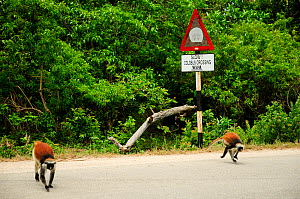 Zanzibar red colobus (Piliocolobus kirkii) two colobus crossing the road that bisects the forest Jozany, with sign that warns of the danger of collision with the colobus, Jozany Forest, Zanzibar.  Hig...  -  Enrique Lopez-Tapia