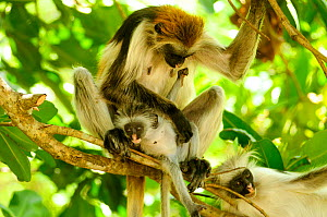 Zanzibar red colobus (Piliocolobus kirkii) mother and young in tree , Jozany Forest, Zanzibar, Tanzania. Highly endangered  -  Enrique Lopez-Tapia