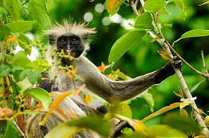 Zanzibar red colobus (Piliocolobus kirkii) in tree, Jozany Forest, Zanzibar, Tanzania. Highly endangered. Did you know? Zanzibar red colobuses are called 'Poison monkeys' by the local people on the is...  -  Enrique Lopez-Tapia