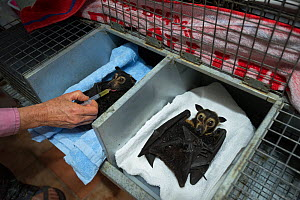 Spectacled flying foxes (Pteropus conspicillatus) paralysed after being bitten by paralytic ticks having medicine administered by owner and main carer Jenny Mclean at Tolga Bat Hospital, North Queensl... - Jurgen Freund