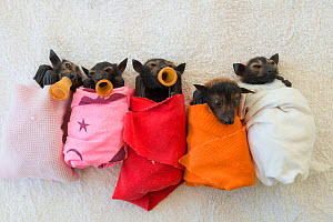 Spectacled flying fox (Pteropus conspicillatus) babies or bubs wrapped in cloth and teats in mouths ready for feeding in the nursery at Tolga Bat Hospital, North Queensland, Australia, November 2012  -  Jurgen Freund