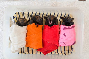 Spectacled flying fox (Pteropus conspicillatus) babies or bubs wrapped in cloth in the nursery, with one yawning, at Tolga Bat Hospital, North Queensland, Australia, November 2012 - Jurgen Freund