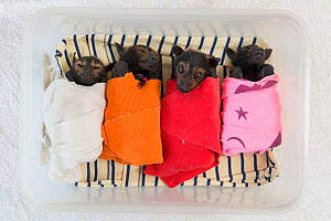 Spectacled flying fox (Pteropus conspicillatus) babies or bubs wrapped in cloth in the nursery at Tolga Bat Hospital, North Queensland, Australia, November 2012  -  Juergen Freund