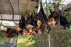 Spectacled flying foxes (Pteropus conspicillatus) in aviary at feeding time, the bats are fed a variety of fruit and drink milk and water, Tolga Bat Hospital, North Queensland, Australia, November 201... - Jurgen Freund