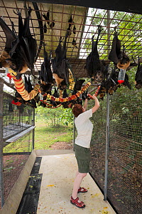 Spectacled flying foxes (Pteropus conspicillatus) in aviary at feeding time, the bats are fed a variety of fruit by Esther Redhouse-White, wildlife carer volunteer, Tolga Bat Hospital, North Queenslan... - Jurgen Freund
