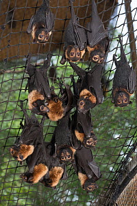 Feeding time at the Tolga Bat Hospital aviary where the fruitbats or flying foxes are fed different fruits from bananas, apples, watermelon to milk and water. Spectacled flying fox (Pteropus conspicil... - Jurgen Freund
