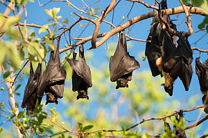 RF- Spectacled flying fox (Pteropus conspicillatus) colony roosting during daytime, North Queensland, Australia, November. (This image may be licensed either as rights managed or royalty free.) - Jurgen Freund