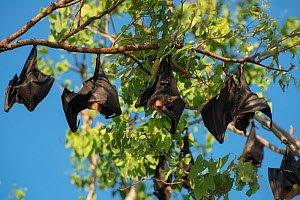 Spectacled flying fox (Pteropus conspicillatus) colony roosting during daytime, North Queensland, Australia, November 2012 - Jurgen Freund