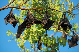 Spectacled flying fox (Pteropus conspicillatus) colony roosting during daytime, one stretching wings, North Queensland, Australia, November 2012 - Jurgen Freund
