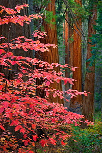Dogwood (Cornus nuttallii) leaves in Autumn amongst Giant Sequoias (Sequoiadendron giganteum) Sequoia National Park, California, October.  -  Floris van Breugel