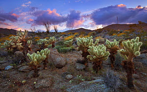Teddybear Cholla cacti (Cylindropuntia bigelovii) at sunset under a clearing storm over Anza Borrego State Park desert, California, USA, April. - Floris van Breugel