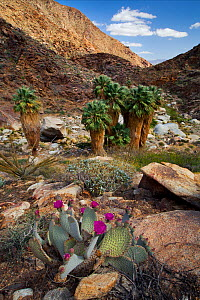 Beavertail cacti (Opuntia basilaris) in bloom  with California fan palm trees (Washingtonia filifera) behind, Anza-Borrego State Park, California, April. - Floris van Breugel