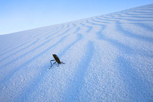 Darkling Beetle (Tenebrionidae) on sand in White Sands National Monument, New Mexico, USA, April. - Floris  van Breugel