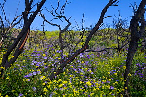 Spring flowers including Phacelia and Mustard  in the burned remnants of the Angeles National Forest after the Station Fire of 2009, Southern California, USA, May 2010. - Floris van Breugel