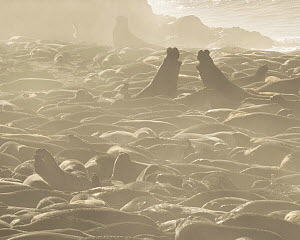 Two Bull Northern Elephant Seals (Mirounga angustirostris) face off before fighting in the middle of the extensive Piedras Blancas rookery with over 150 seals just in this photo, mostly pregnant or nu...  -  Floris van Breugel